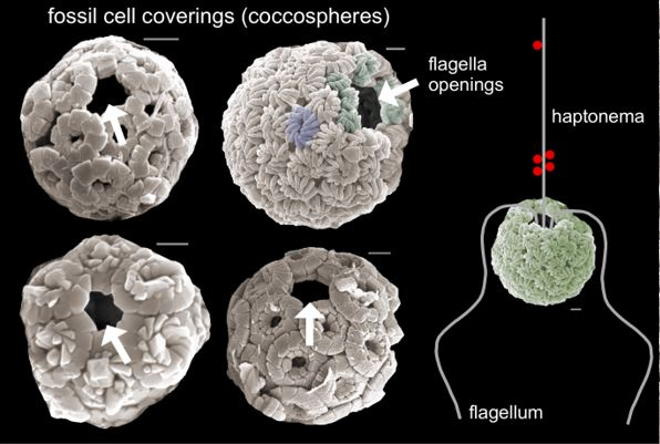 Fossil cell coverings (coccospheres).